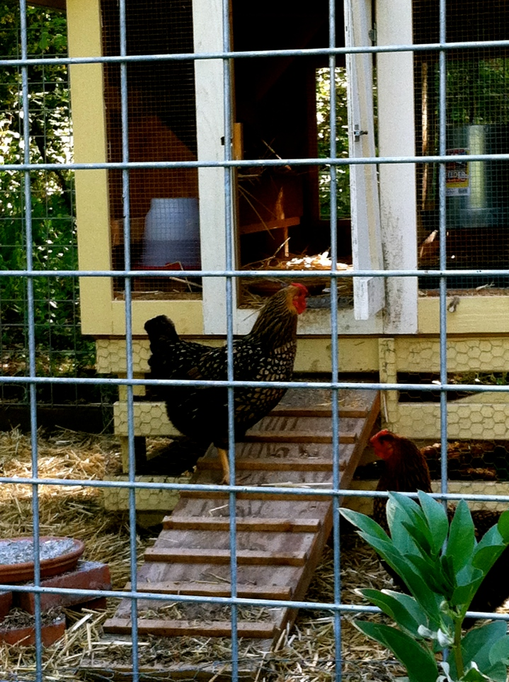 We hope these chickens are for eggs and overall setting, rather than a poulet diner