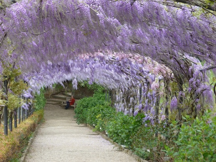Wisteria lane in the Bardini Gardens from unseentuscany.com