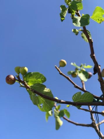 Fig trees at Masseria Potenti